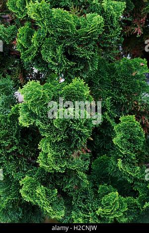 hinoki cypress chamaecyparis obtusa 39 nana gracilis 39 and. Black Bedroom Furniture Sets. Home Design Ideas