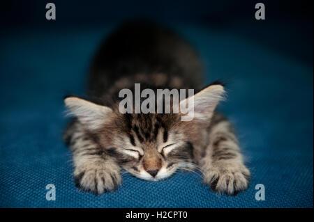BabyTabby Kitten Sleeping - Stock Photo