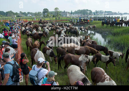 Spectators watch as a herd of wild ponies graze on grass in a fenced corral near the beach after after completing - Stock Photo