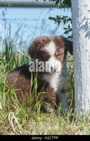 Eight-week-old  Red Tri Australian shepherd dog, puppy