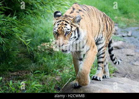 A tiger walking in a field. - Stock Photo