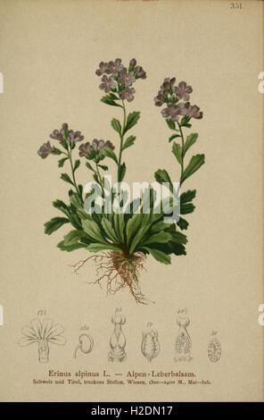 Atlas der Alpenflora (Pl. 351) - Stock Photo