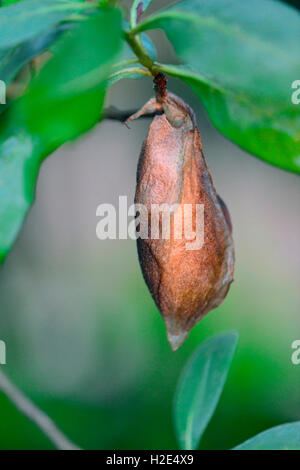 Atlas Moth (Attacus atlas), pupa on a twig, Germany - Stock Photo