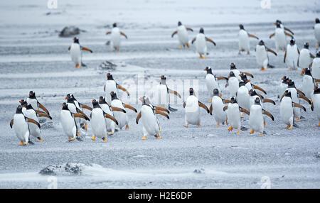 Gentoo Penguins (Pygoscelis papua papua), colony marching in line, Sea Lion Island, Falkland Islands, South Atlantik - Stock Photo