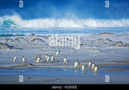 Gentoo Penguins (Pygoscelis papua papua), colony walking on beach, Falkland Islands, South Atlantic - Stock Photo