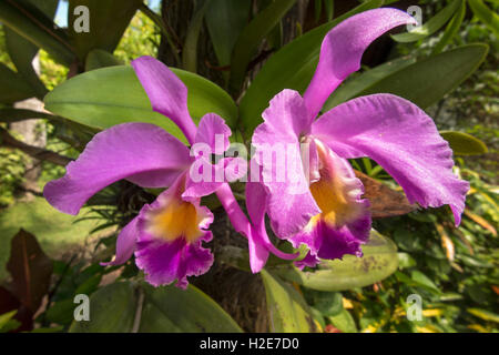 Indonesia, Bali, Kuta, Poppies Gang 1, Poppies Cottages, purple orchids growing in garden - Stock Photo