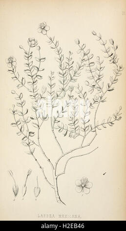 Botanic contributions relating to the flora of western North America - Stock Photo