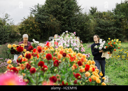 Two people working in an organic flower nursery, cutting flowers for flower arrangements and commercial orders. - Stock Photo