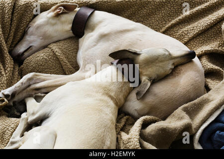 Two greyhound dogs sleeping together in a dog bed. - Stock Photo