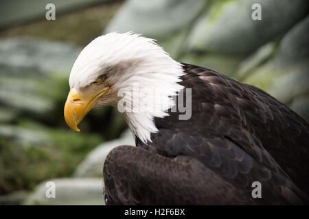 Bald Eagle, Haliaeetus leucocephalus closeup. Marble Island in Glacier Bay National Park, Alaska. USA. Also known - Stock Photo