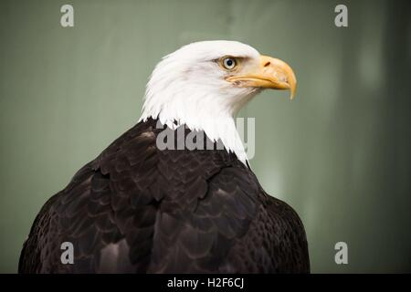 Bald Eagle, Haliaeetus leucocephalus closeup. Marble Island in Glacier Bay National Park, Alaska. USA. Also known - Stock Photo