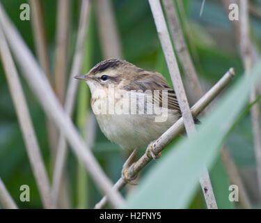 Sedge Warbler (Acrocephalus schoenobaenus) in reeds - Stock Photo