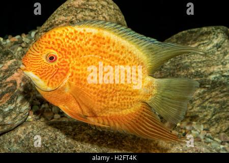 Portrait of freshwater cichlid fish (Heros severus) in aquarium - Stock Photo