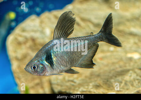 Portrait of freshwater tetra fish (Hyphessobrycon megalopterus) in aquarium - Stock Photo