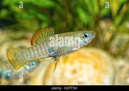 Portrait of freshwater livebearer fish (Brachyrhaphis roseni) in aquarium - Stock Photo
