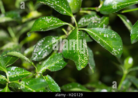 Parlatoria on leaves and branches of Euonymus japonica. Mealybugs, plant disease white insect small. - Stock Photo