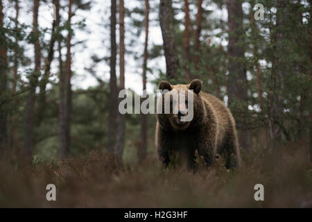 Eurasian Brown Bear / Braunbaer (Ursus arctos) at the edge of a pine forest, standing in dry heather, frontal low - Stock Photo