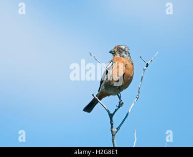 Rufous-tailed Plantcutter, Phytotoma rara Torres del Paine Patagonia Chile - Stock Photo