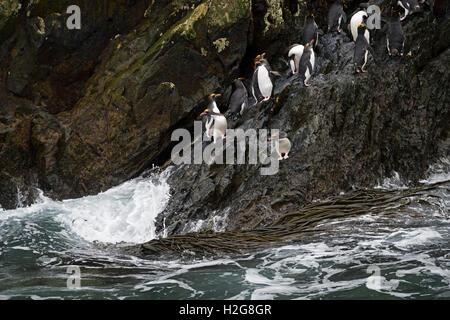 Macaroni Penguins  Eudyptes chrysolophus returning to colony on Bird Island, South Georgia - Stock Photo