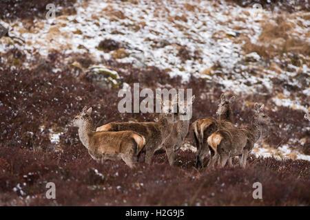 Red deer Cervus elaphus hinds  on hill Forsinaird The Flows Sutherland & Caithness Scotland - Stock Photo