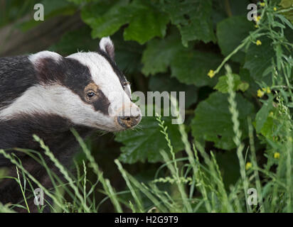 Eurasian Badger Meles meles Kent July - Stock Photo
