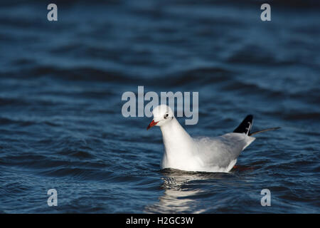 Black-headed Gull Chroicocephalus ridibundus adult in non breeding plumage Norfolk December - Stock Photo