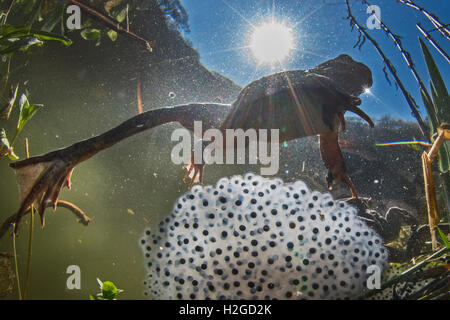 Common Frog, Rana temporaria and frog spawn in pond in spring North Norfolk - Stock Photo