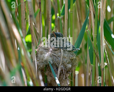 Young Cuckoo Canorus cuculus in Reed Warblers nest in reedbed Norfolk May - Stock Photo