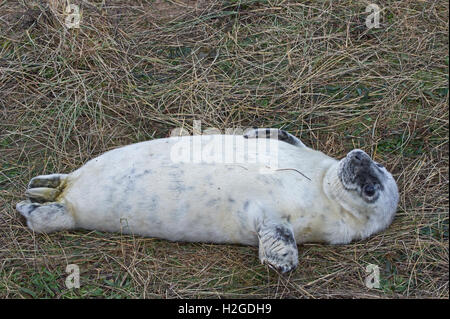 Grey Seal pup  Halichoerus grypus in humorous pose Donna Nook Lincolnshire - Stock Photo