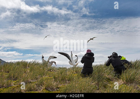 Tourists photographing Wandering Albatross's Bay of Isles South Georgia - Stock Photo