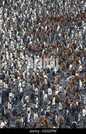 Looking down on the vast King Penguin (Aptenodytes patagonicus) colony at Salisbury Plain on South Georgia.  Estimated - Stock Photo