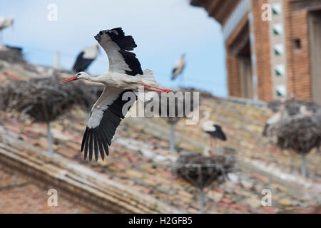 White Stork Ciconia ciconia in flight over cathedral Alfaro Spain - Stock Photo