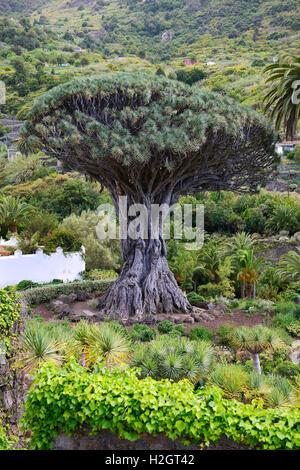 Thousand years old Canarian dragon tree (Dracaena draco), Drago Milenario, Icod de los Vinos, Tenerife, Canary Islands, - Stock Photo
