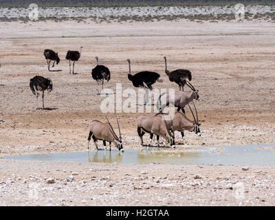 Gemsboks (Oryx gazella) and common ostriches (Struthio camelus) at waterhole, dry landscape, Etosha National Park, - Stock Photo