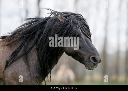 Dülmen wild horse, portrait, Dülmen, North Rhine-Westphalia, Germany - Stock Photo