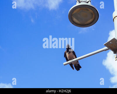 Hooded Crow (Corvus cornix) perched on a lamp post with blue sky background. Photographed in Israel In May - Stock Photo