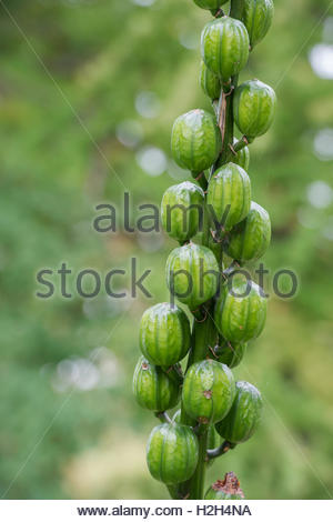 Cardiocrinum giganteum. Giant Himalayan lily seed pods in september. - Stock Photo
