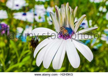 Honey-bee collecting nectar from the flower - Stock Photo