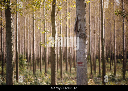 Forestry paint marking on tree trunks in woods, timber being labeled to be cut of - Stock Photo