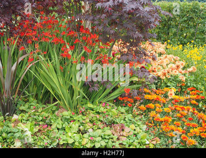 Clump of Crocosmia Lucifer growing in a mixed border with a dark purple leaved acer (Acer Palmatum Bloodgood) behind. - Stock Photo
