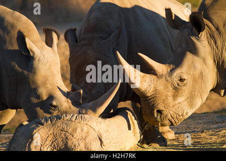 A close up of two rhino drinking water - Stock Photo