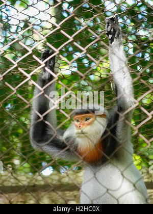 Captive red-shanked douc langur (Pygathrix nemaeus) in a cage at the endangered primate rescue center in Cuc Phuong, - Stock Photo