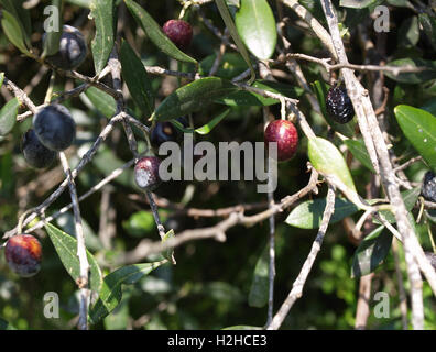Close up of olive tree in Roda, Corfu, Greece - Stock Photo