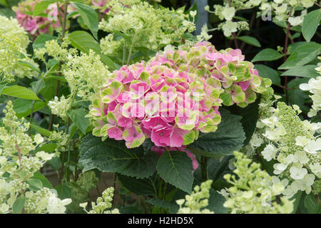 Hydrangea Macrophylla 'Magical amethyst' flowers in august. - Stock Photo