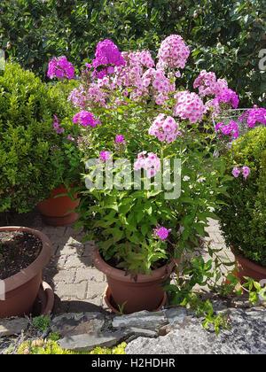 Phlox; Staudenphlox; paniculata; Blumenkuebel - Stock Photo