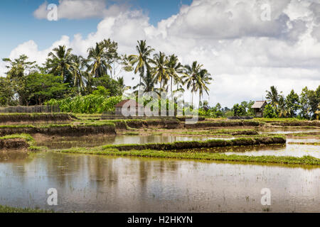 Indonesia, Central Bali, Pupuan, irrigated paddy fields flooded with water prepared to plant rice - Stock Photo