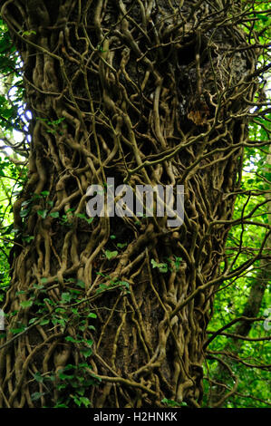 tree and creeper vines - Stock Photo