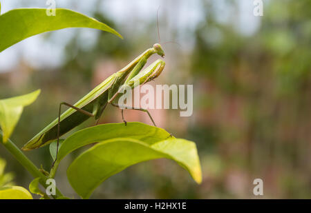 Green Praying Mantis, Mantis religiosa, sitting on a leaf in its typical pose, waiting for insects to catch them. - Stock Photo
