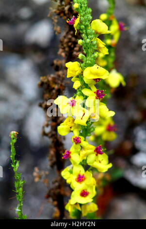 Yellow great mullein flower close up - Stock Photo