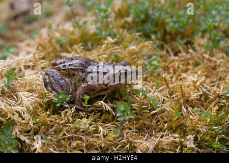 Common Frog, Rana temporaria,  Single adult resting on mossy bank. Linn of Dee, Scotland, UK. - Stock Photo